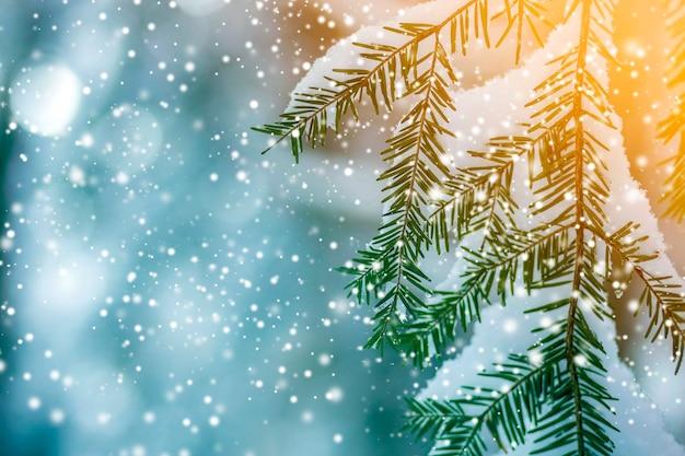 Kiefernzweige mit grünen nadeln bedeckt mit tiefem frischem sauberem schnee Premium Fotos