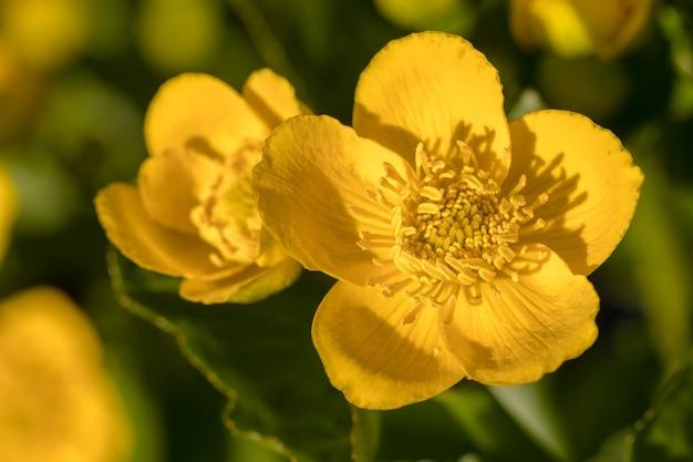 Kingcup oder marsh marigold - caltha palustris blumen schließen Premium Fotos