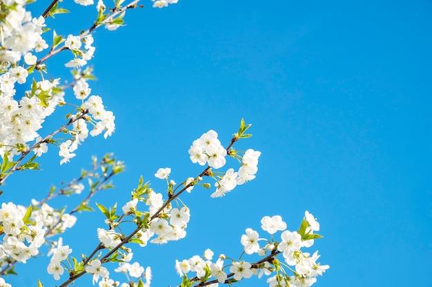 Kirschbaum mit blumen. Premium Fotos