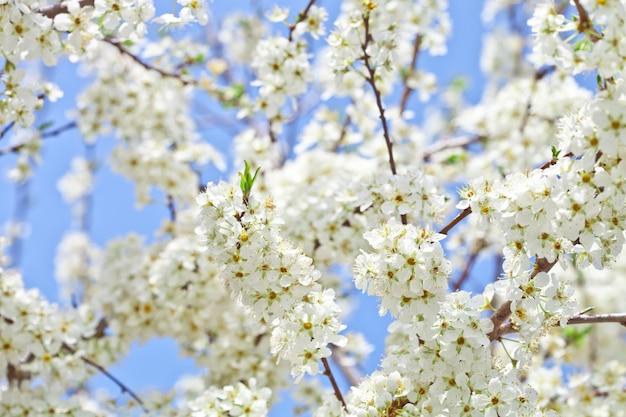 Kirschblüte mit weißen blüten Premium Fotos