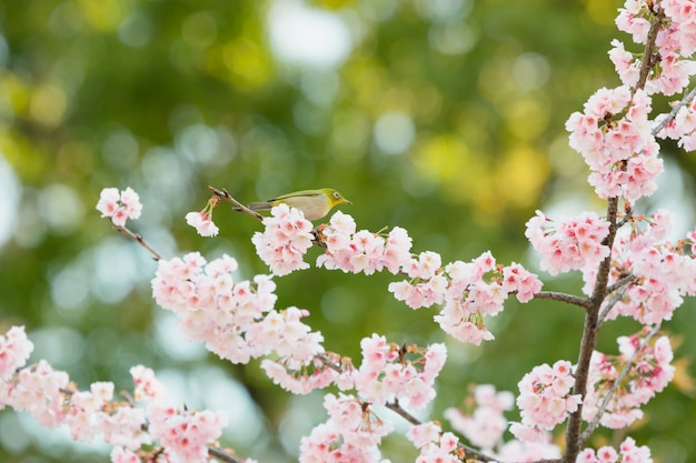 Kirschblüte, rosa kirschblüte in japan auf frühlingsjahreszeit. Premium Fotos