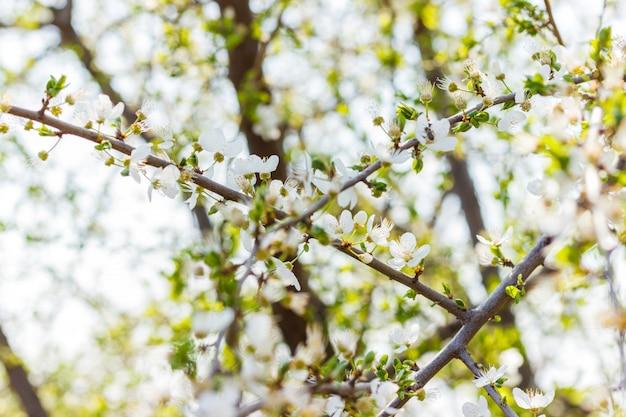Kirschblüte sonnigen frühling. blühender kirschbaum Premium Fotos