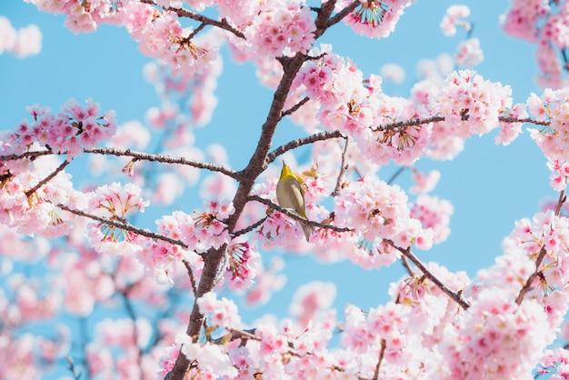 Kirschblüte und vogel, rosa kirschblüte in japan auf frühlingsjahreszeit. Premium Fotos