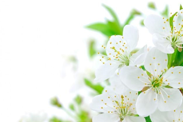 Kirschblüte Premium Fotos
