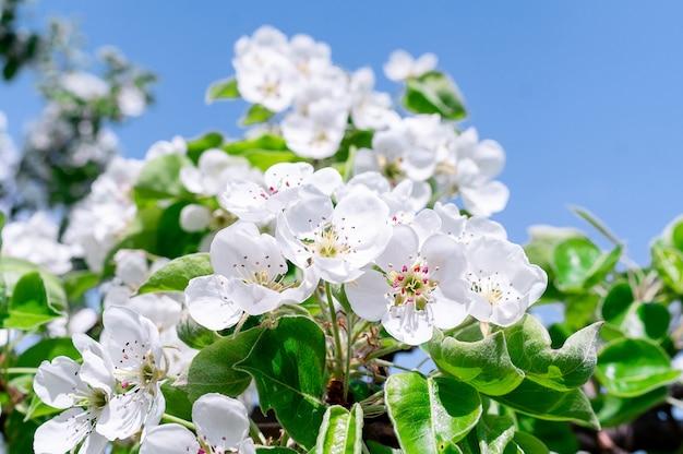 Kirschblüten baum hintergrund Premium Fotos