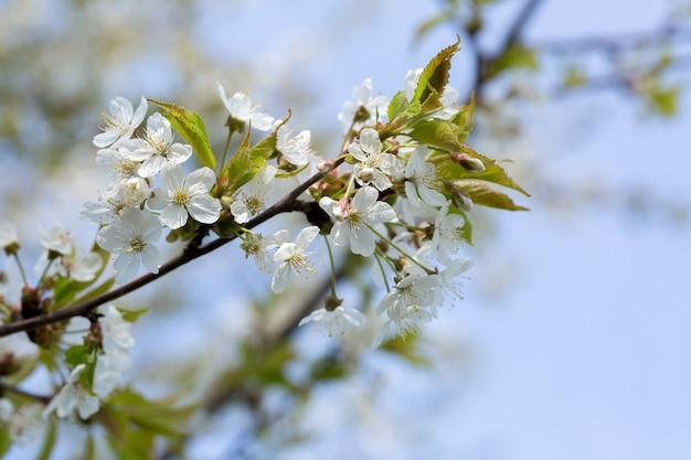 Kirschblüten im frühjahr Premium Fotos