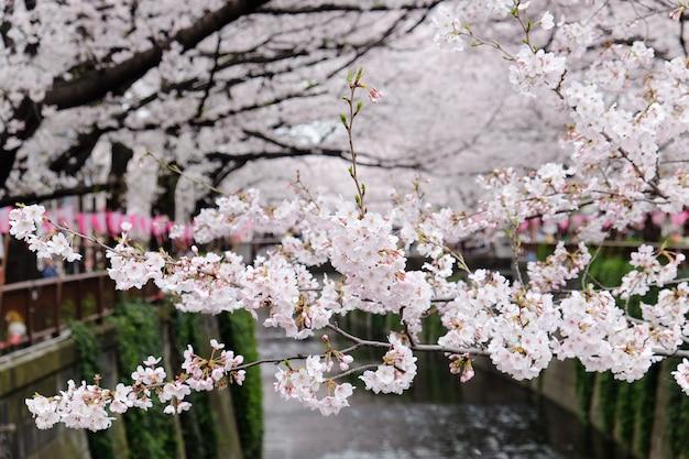 Kirschblüten in meguro fluss Premium Fotos