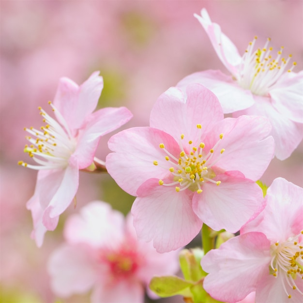 Kirschblüten Premium Fotos