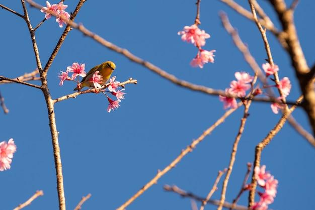 Kirschblütenblumen und gelber vogel auf baum mit blauem himmel Premium Fotos