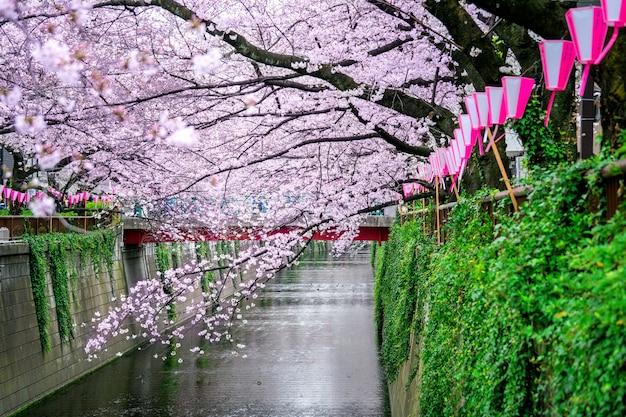 Kirschblütenreihen entlang des meguro-flusses in tokio, japan Kostenlose Fotos