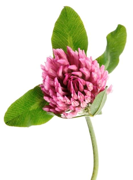 Kleeblume lokalisiert auf weißem hintergrund Premium Fotos