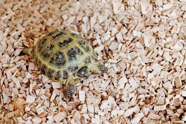 Kleine asiatische landschildkröte auf holzspänen. Premium Fotos