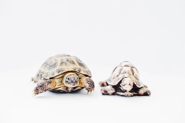 Kleine asiatische überlandschildkröte mit der steinstatue lokalisiert auf weiß. Premium Fotos