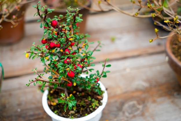 kleine bonsai baum download der kostenlosen fotos. Black Bedroom Furniture Sets. Home Design Ideas