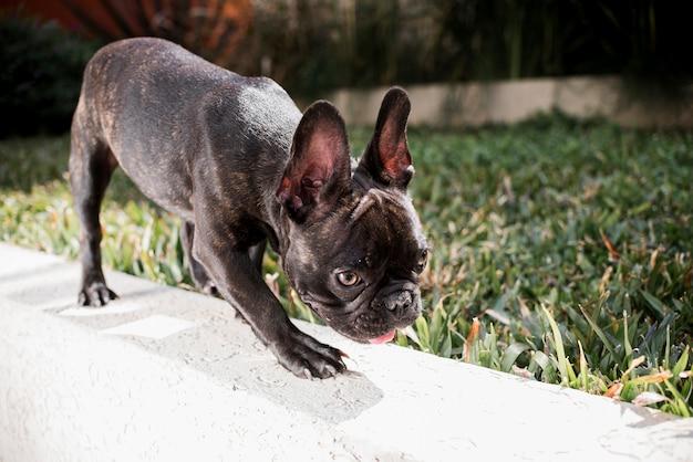 Kleine französische bulldogge der nahaufnahme im freien Kostenlose Fotos