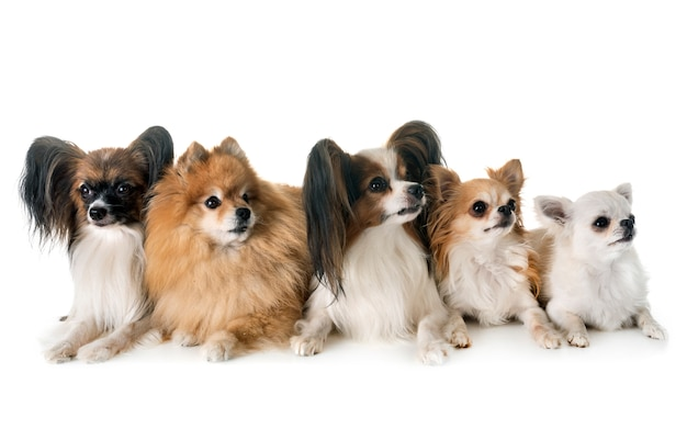 Kleine hunde im studio Premium Fotos