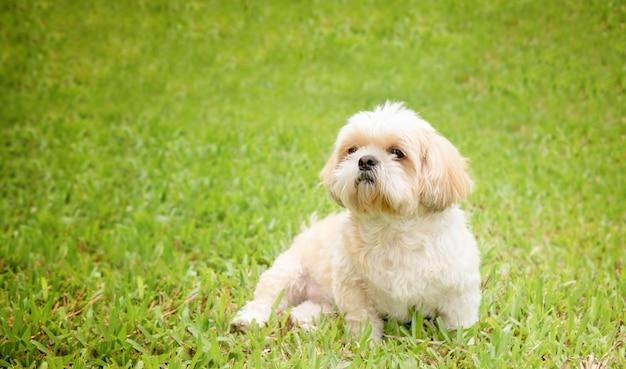Kleine hunderassen shih tzu braunes fell im grünen rasen. Premium Fotos