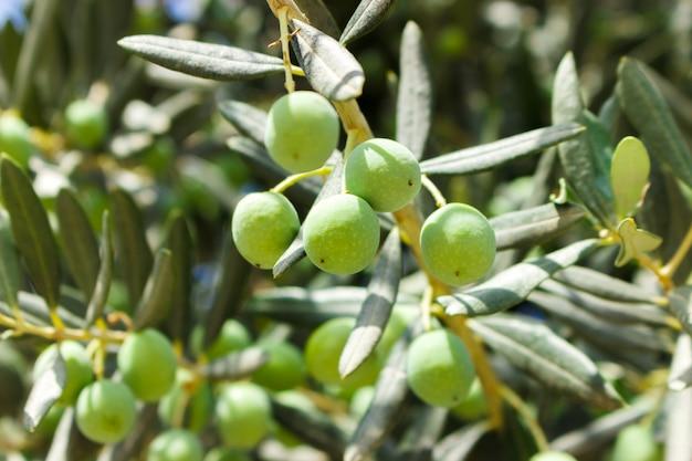 Kleine junge grüne oliven auf baum am sonnigen tag Premium Fotos