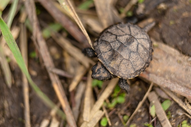 Kleine neugeborene schildkröte, die zum fluss kriecht Premium Fotos