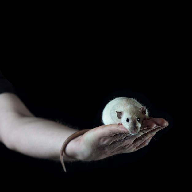 Kleine ratte, die auf der hand eines mannes hält ihren schwanz sitzt Premium Fotos