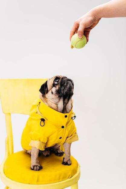 Kleiner aufmerksamer hund in der kleidung, die auf stuhl sitzt Kostenlose Fotos