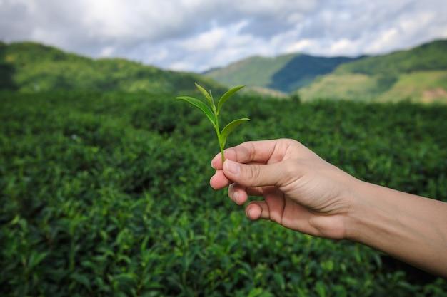Kleiner grüner tee auf der hand und landwirtschaftliches ackerland mit bauer gruppe hintergrund Premium Fotos