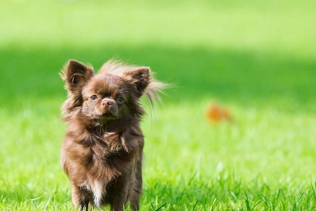Kleiner hund, der auf dem gras liegt Premium Fotos