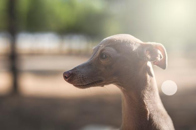 Kleiner hund des italienischen windhunds im wald Premium Fotos