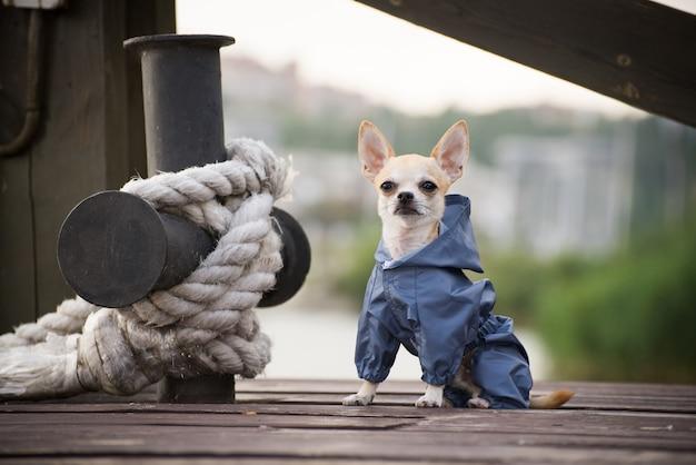 Kleiner hund in klamotten spazieren Premium Fotos