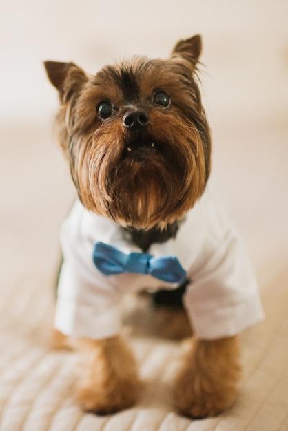 Kleiner hund in weißem rock und blauen fliege gekleidet Kostenlose Fotos