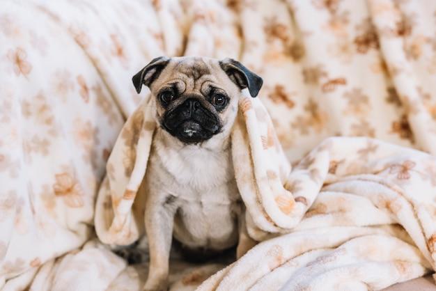 Kleiner hund mit bettdecke Kostenlose Fotos