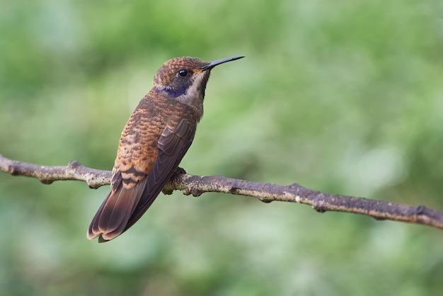 Kleiner kolibri, der auf einem horizontalen zweig aufwirft Premium Fotos