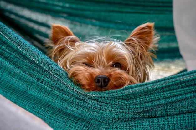 Kleiner schlafender yorkshire-hund, fauler netter hund, der auf einer hängematte stillsteht Premium Fotos