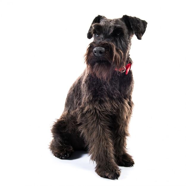 Kleiner schwarzer hund Premium Fotos