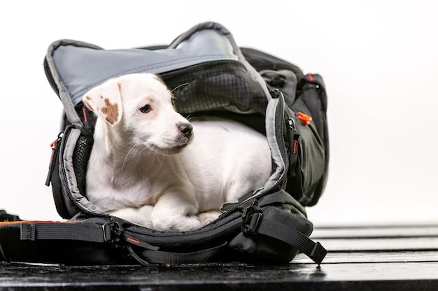 Kleiner süßer hund sitzt in einer schwarzen tasche und freut sich - jack russell terrier Premium Fotos