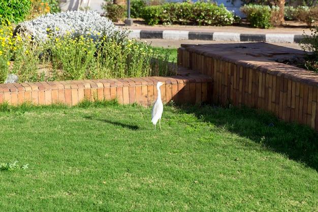 Kleiner weißer reiher auf gras im sonnigen ägypten Premium Fotos