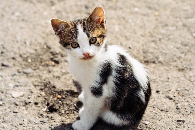 Kleines dreifarbiges kätzchen, das mit interesse der kamera nach einem köstlichen abendessen betrachtet Premium Fotos