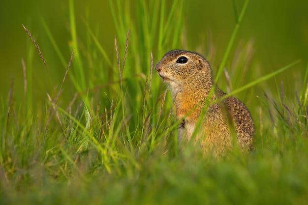 Kleines europäisches grundeichhörnchen, das im sommer im gras sitzt. Premium Fotos