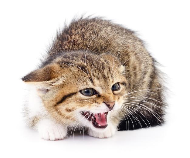 Kleines graues kätzchen lokalisiert auf weißem hintergrund. Premium Fotos