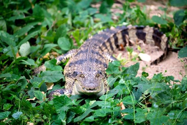 Kleines krokodil, das im grünen gras sich versteckt Premium Fotos