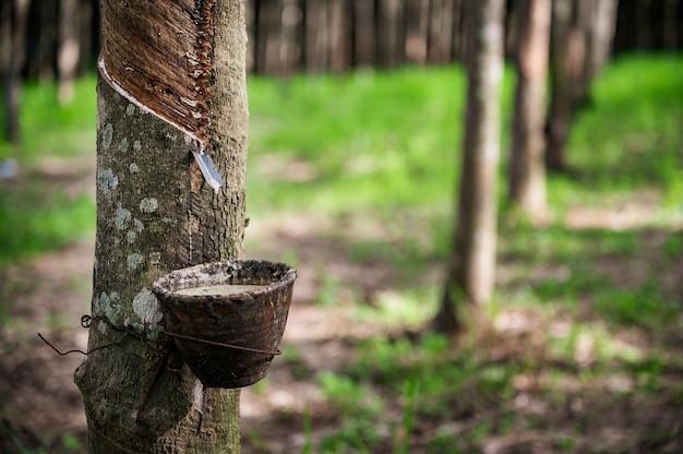 Klopfender latexgummibaum, gummilatex extrahiert vom gummibaum, ernte in thailand. Premium Fotos