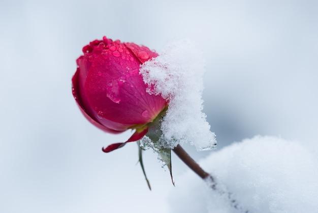 Knospe der rose mit schnee bedeckt, ein plötzlicher schneefall. rosenblüte im winter. Premium Fotos