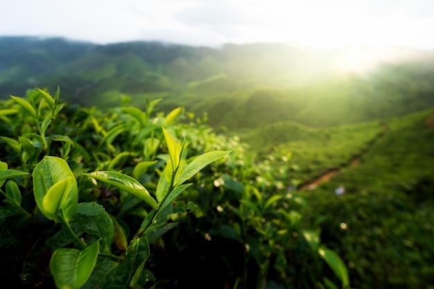 Knospe des grünen tees und frische blätter. teeplantagen im cameron-hochland, malaysia. Premium Fotos