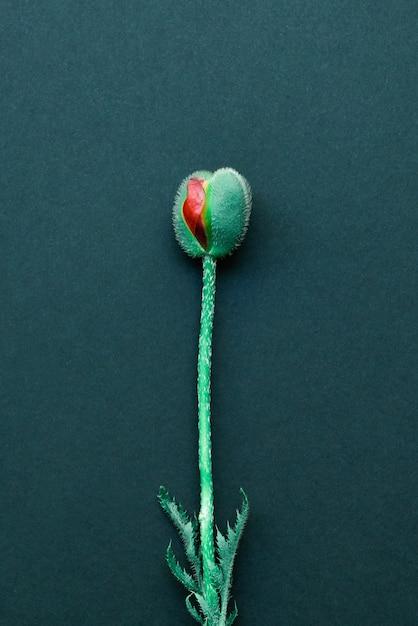 Knospe einer mohnblume ähnlich einer weiblichen organvagina lokalisiert auf einem dunklen hintergrund. konzept der weiblichen intimthemen und gynäkologie Premium Fotos