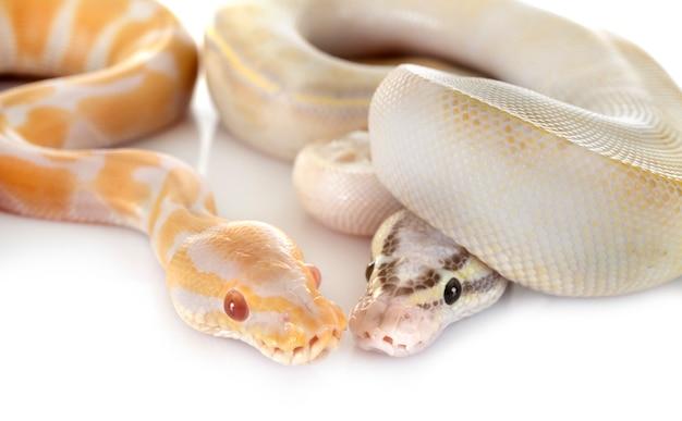 Königliche pythons im studio Premium Fotos