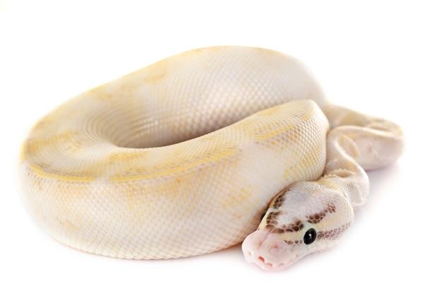Königlicher python im studio Premium Fotos