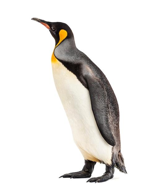 Königspinguin, der vor einer weißen wand steht Premium Fotos