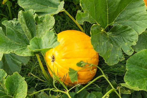 Köstlicher großer reifer kürbis wachsen auf grünem busch, der auf üppigem gras im gemüsegarten bei hellem sonnenlicht auf schöner herbsttag-nahaufnahme liegt. erntezeit Premium Fotos