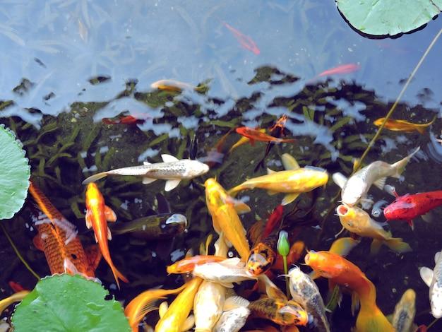 Koi Fische im Blumenteich | Download der Premium Fotos
