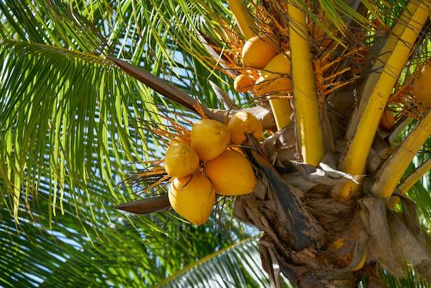 Kokosnussfrüchte in der palme von riviera maya Premium Fotos